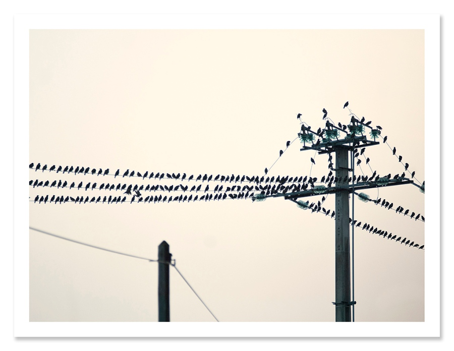 easton_starlings_01