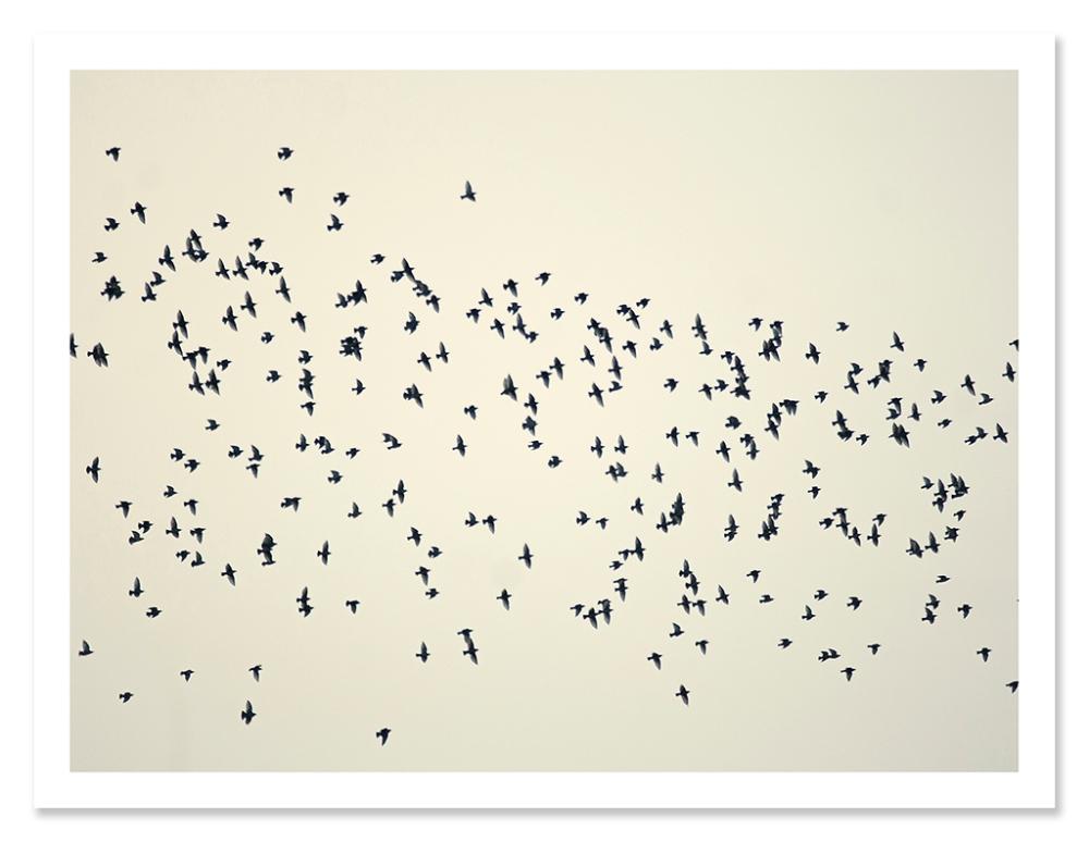 easton_starlings_04