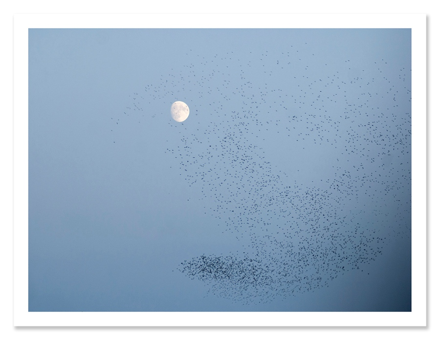 easton_starlings_07